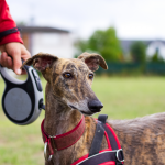 The best harness for walking your dog: Easy Walk Harness vs Gentle Leader Headcollar