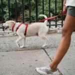 How Do I Teach My Dog to Walk on a Leash?